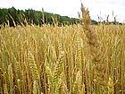 wheat-4[1]